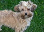 T cup Yorkshire Terrier For Adoption