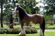 Stallion Gypsy Vanner Horse For Adoption.