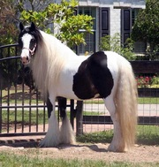 Pure Breed Gypsy Vanner Horse For Sale.