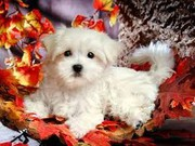 Super Cute Maltese Puppies