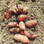 Potato fresh sweet potatoes high quality cheap price professional expo