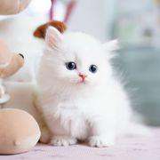 Teacup Munchkin kittens for sale