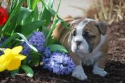 cute bulldog pupies for rehoming