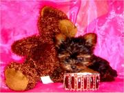 HEALTHY CUTE TEA CUP YORKIE PUPPIES FOR BEAUTIFUL HOMES for Xmas:l(tra